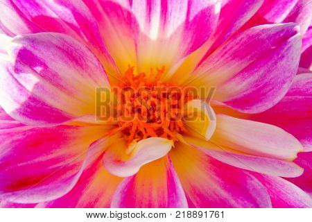 Macro of a backlit Pink Dahlia flower with white stripes and a yellow orange center illuminated by sunlight.