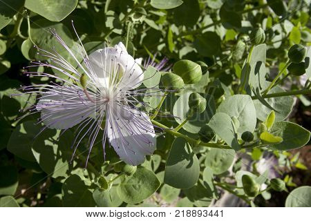 Wild capers growing in Mediterranean stone wall with blooming purple white flowers