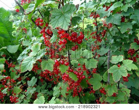 Ripe red currant berries on a branch in the garden. Red currant currant or ordinary or garden currant (Ribes rubrum)
