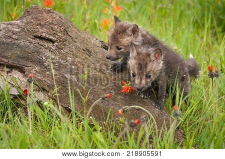 Red Fox (Vulpes vulpes) Kits Clamber Over Log - captive animals
