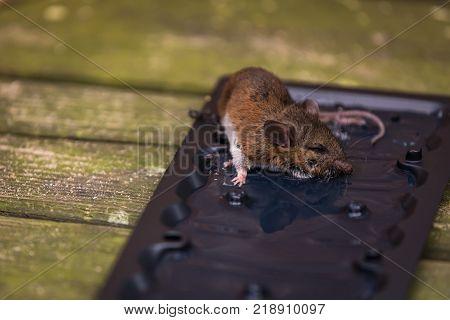 A wild mouse a black mouse trap