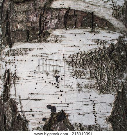 white and black background bark birch tree close up