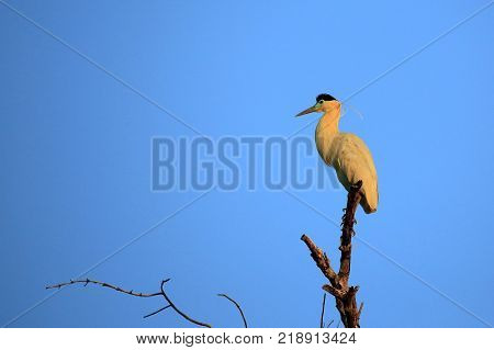 Capped Heron in Top of a Tree in Twilight. Rio Claro Pantanal Brazil