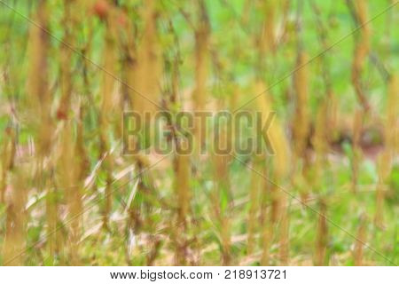 Defocused natural background of birch catkins. Spring birch tree in blossom with green lawn at the back