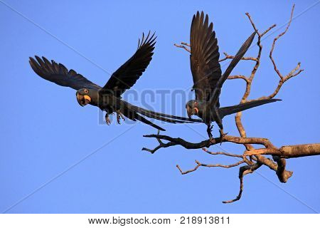 Two Hyacinth Macaws Taking Off from a Branch. Pantanal Brazil