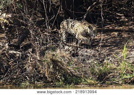 Jaguar Walking along the River Bank Pantanal Brazil