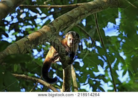 Young Tufted Capuchin Monkey Looking down from a Branch. Amazon Rainforest Brazil