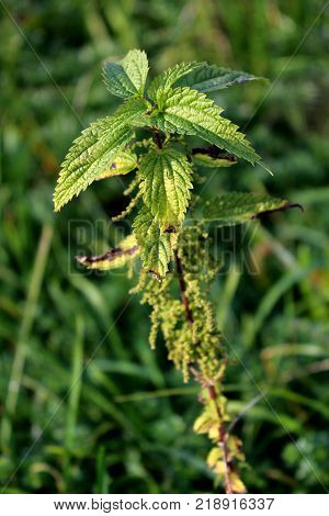 Urtica dioica or common nettle, also called stinging nettle or nettle leaf plant with dark green leaves and surrounded with thick green vegetation in background