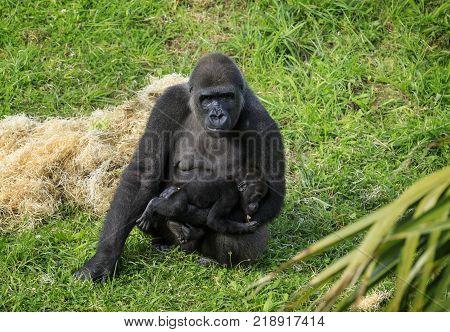 Gorilla in Cabarceno Natural Park, Cantabria, Spain