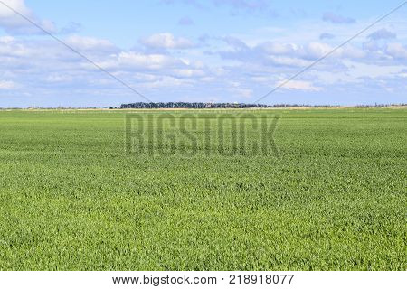 Field of young green barley. A background from a green spring field of winter grain crops.