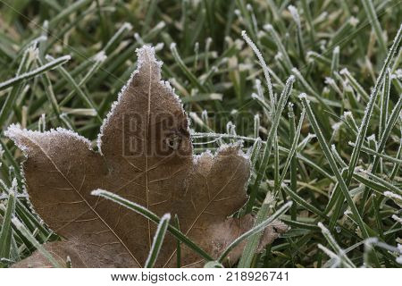 frosty dry brown maple leaf sitting in green grass covered with frost