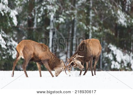 Winter wildlife. Two young noble deers Cervus elaphus playing and fighting with their horns in snow near winter forest