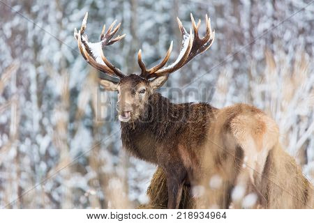 Single adult noble deer with big beautiful horns with snow eating hay on winter forest background. European wildlife landscape with snow and deer with big antlers.