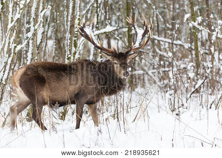 Single adult noble deer with big beautiful horns with snow in winter forest. European wildlife landscape with snow and deer with big antlers.