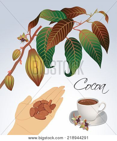 Sprigs of flowering cocoa palm with beans and a cup