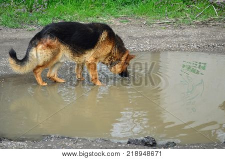 German shepherd dog stay in a mud puddle and drink dirty water.