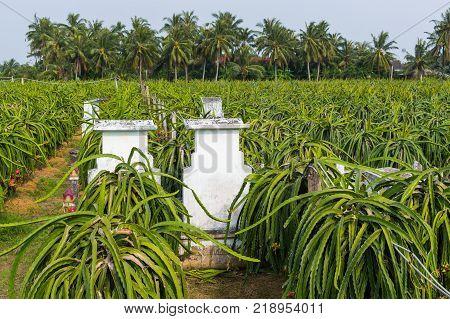 Dragons fruit, Pitahaya fruit plantation in Vietnam.