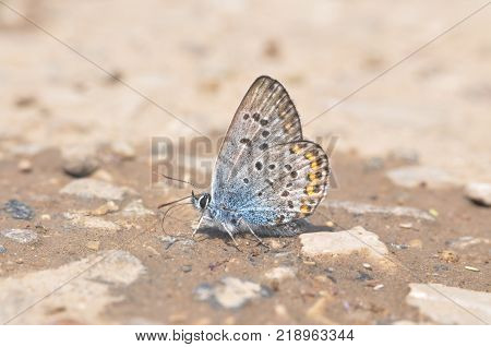 Plebejus argus, Silver Studded Blue. Common butterfly in Europe taking minerals from the ground