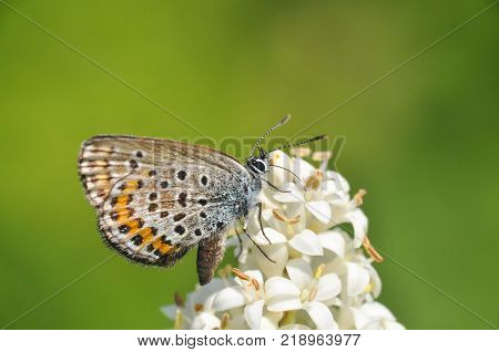 Plebejus argus, Silver Studded Blue butterfly collecting nectar from wild white flower with a green background