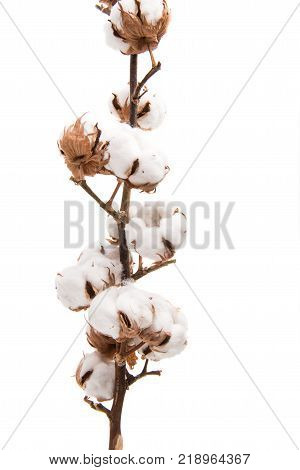 branch with cotton bolls isolated on white background