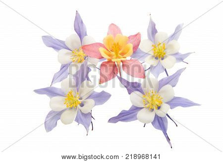 aquilegia beauteous flower isolated on white background