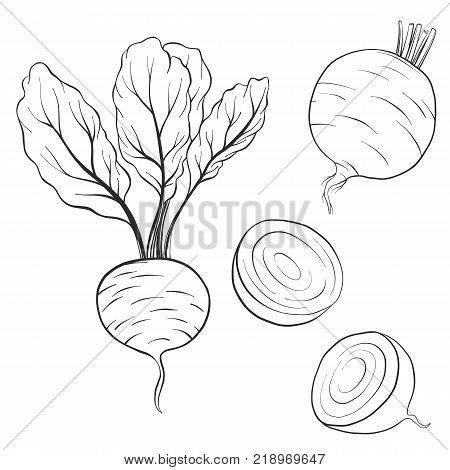 vector drawing beets, isolated vegetables, hand drawn illustration