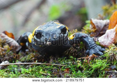 closeup portrait of a fire salamander amphibian
