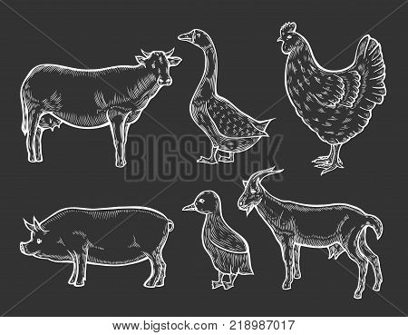 Farm animal set. Fresh organic meat. Cow, goat, pig, hen, sheep, goose. Hand drawn sketch. Vintage vector engraving illustration for poster, web. Isolated on white background