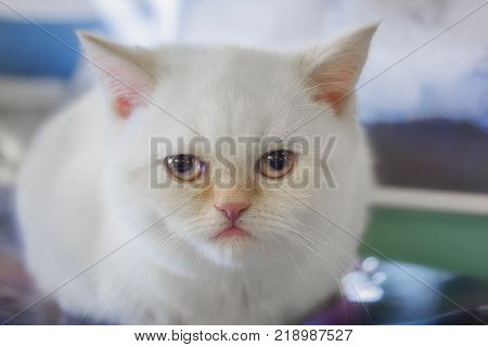 Portrait of a small white kitten of the breed Scottish straight close-up.