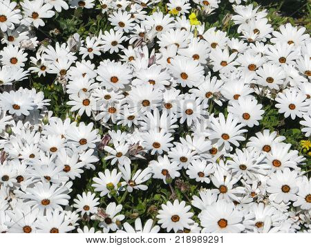 WHITE AFRICAN DAISIES FROM THE FORE GROUND, RIGHT UP TO THE BACK GROUND