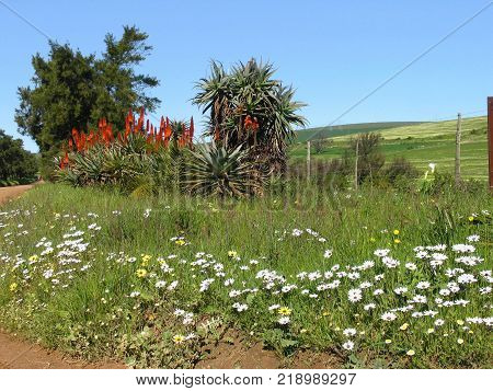 COUNTRY LANDSCAPE ON A CLEAR DAY, WITH ALOES, FLOWER AND GRASS IN THE FORE GROUND, AND GREEN HILLS IN THE BACK GROUND 01