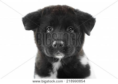 Nice close-up of the american s akita puppy, made in a studio with white background. It has soft, fluffy black fur with white spots and little wet nose. Puppy is a symbol of 2018 year.