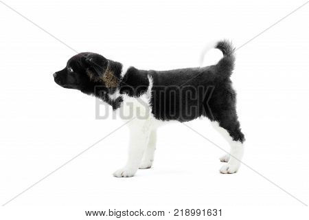 Little cute american s akita puppy with black and white fur and fluffy tail. Nice symbol of the next year of Earth Dog. Photo was made on the white studio background.