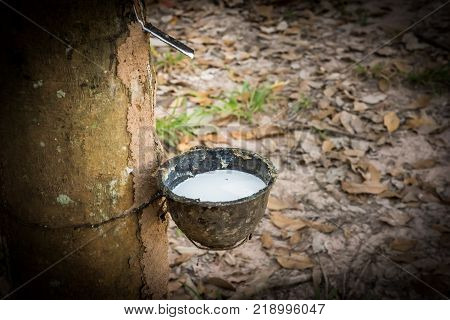 Tapping latex rubber tree Rubber Latex extracted from rubber tree.