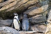 Penguins in enclosure at the Zoo in Seattle poster