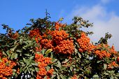 Brush berry. Orange autumn berries of Pyracantha with green leaves on a bush poster