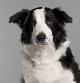 Close-up of Border Collie, 7 months old, in front of grey background poster