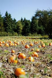 Pumpkin Patch & Trees2