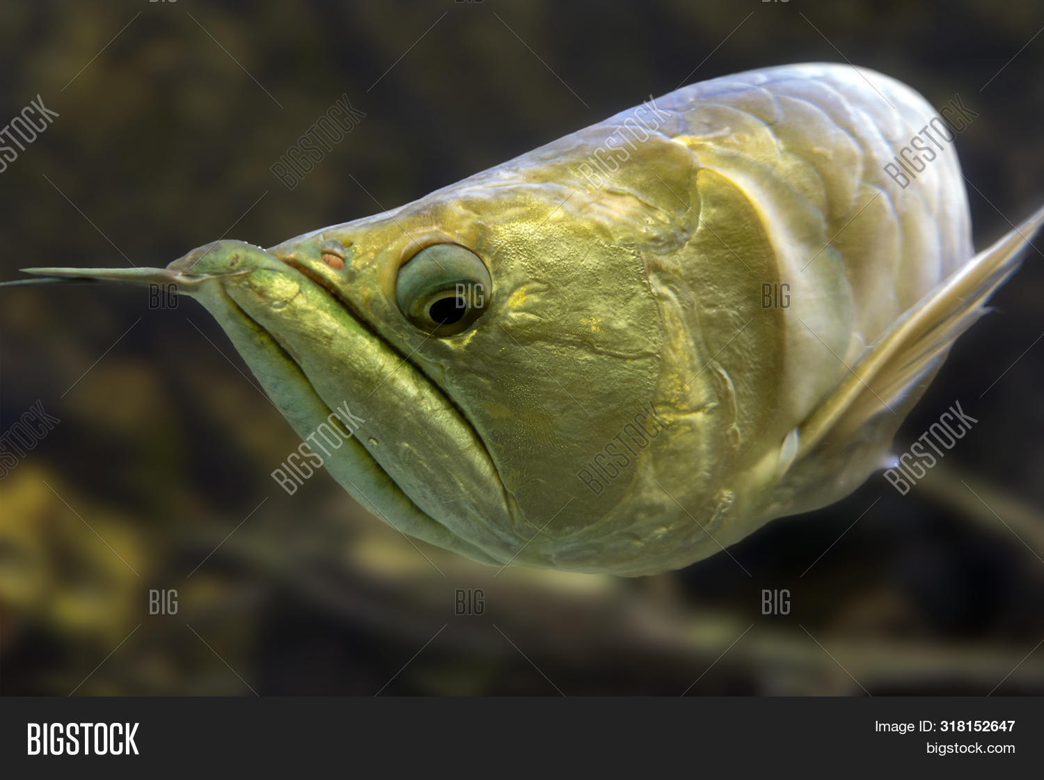 Exotic Silver Arowana Fish Closeup Photo. Detail