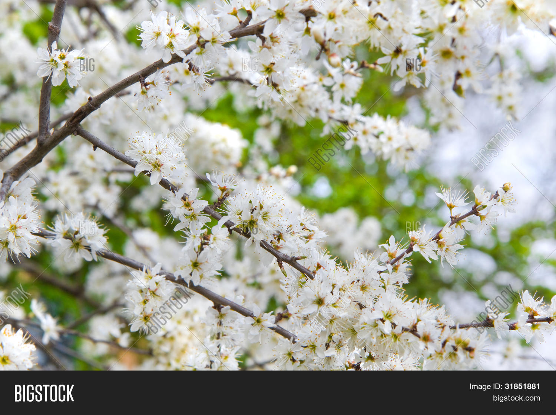 Tiny White Flowers On Image Photo Free Trial Bigstock
