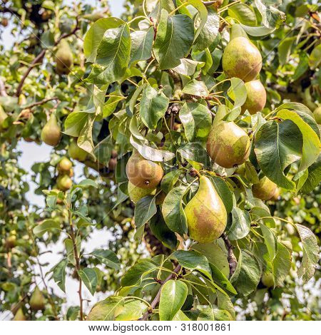 Square Closeup Image Of Ripening Conference Pears Hanging On The Branches Of A Pear Tree On A Sunny