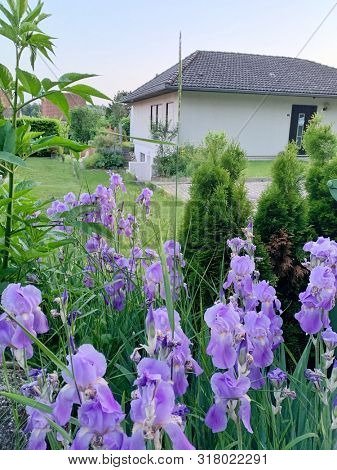 Violet iris flowers in the front garden of a house