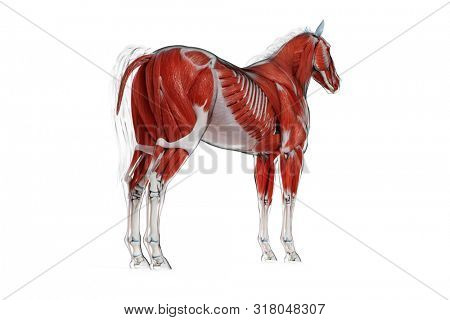 3d rendered medically accurate illustration of a horses muscle anatomy