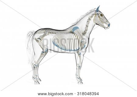 3d rendered medically accurate illustration of a horses skeleton