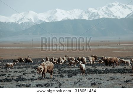 Sheeps Pasture In Field With Snowy Mountains