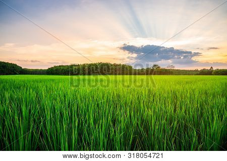 Rice Field Rural With And Colorful Of Sky In Twilight, Green Field Rural Countryside