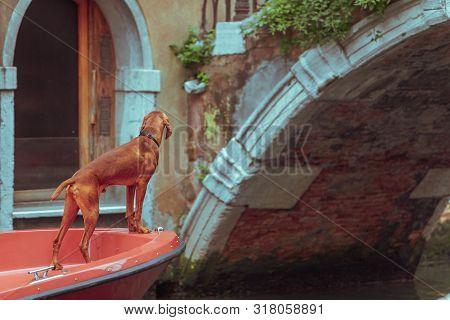 Brown Vizsla Dog At Boat Bow City Canal