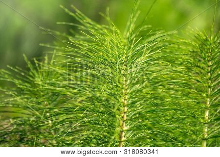 Lush Green Stems Of The Field Horsetail With Blurry Background. Equisetum Arvense, The Field Horseta