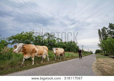 Alibunar, Serbia - June 7, 2019: Peasant Senior Man Conducting His Herd Of Cows On A Street Of Alibu