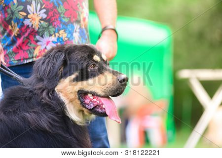 Well. Buryat-mongolian Wolfhound. Dog On A Leash In The Park. Portrait.